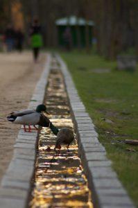 concurso fotografia segovia: Patos en el agua